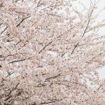 桜の名所! 佐賀川上 巨石パーク 絶対おすすめ桜スポット!