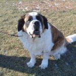 犬の大きくなってからのトイレトレーニング 成犬だってまだできます!