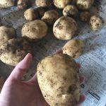 じゃがいもの収穫レポート!家庭菜園で楽しい野菜作り!